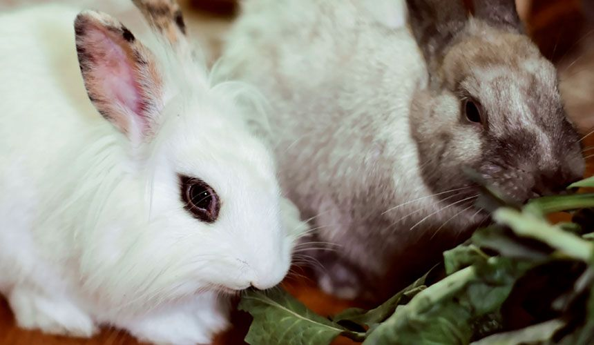 white rabbit and brown eating vegetables at town and country veterinary hospital
