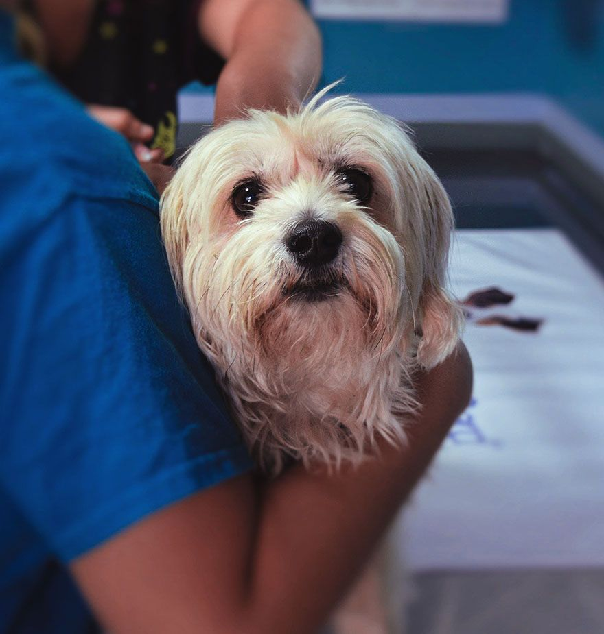 veterinarian checking dog on surgery table at town and country veterinary hospital